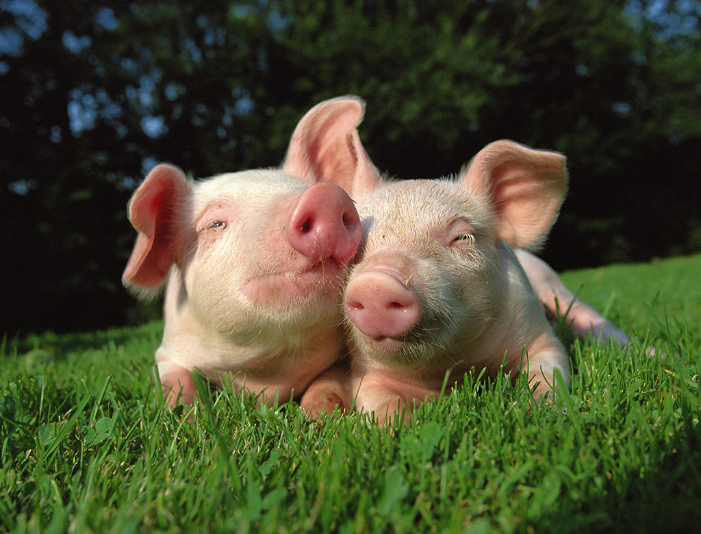 cute happy pigs