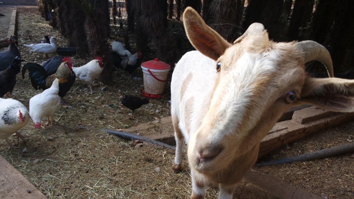 Gallos, gallinas, cabras, ovejas viven en perfecta armonía